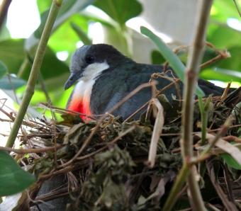 bleeding-heart-dove