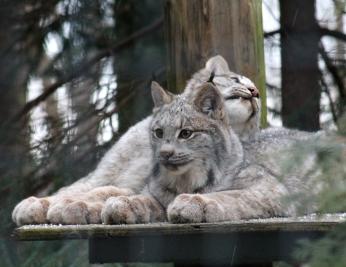 Lynx 11