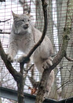Lynx 20