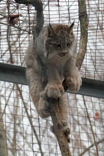 Lynx 34