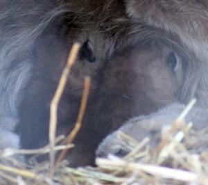 Lynx Babies 02