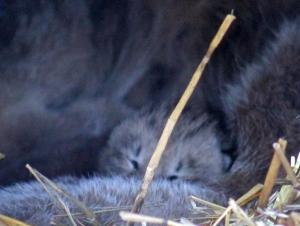 Lynx Babies 04