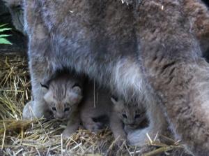 Lynx babies peeking