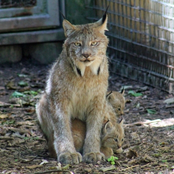 Lynx family square