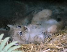 Lynx kittens 07 calendar