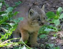 Lynx kittens 08 calendar