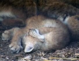 Lynx kittens 10 calendar