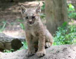 Lynx kittens 11 calendar