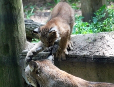 Lynx kittens 12 calendar