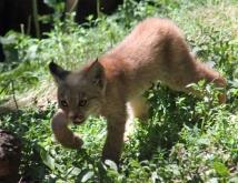 Lynx kittens 13 calendar