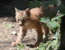 Lynx kittens 14 calendar