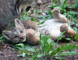 Lynx kittens 18 calendar