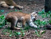 Lynx kittens 19 calendar