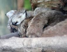 Lynx kittens 20 calendar