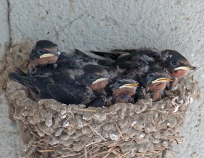 Barn swallows 01 calendar