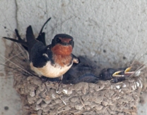 Barn swallows 01