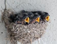 Barn swallows 02 calendar