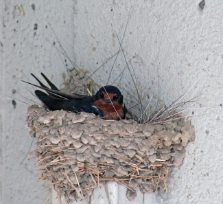 Barn swallows 03