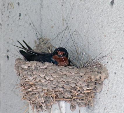 Barn swallows 03