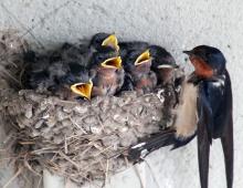Barn swallows 04 calendar