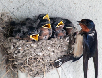 Barn swallows 04 calendar