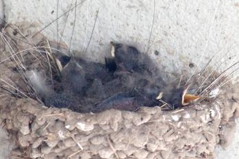 Barn swallows 04