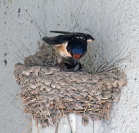 Barn swallows 05