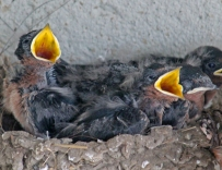 Barn swallows 06 calendar