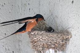 Barn swallows 06