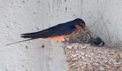Barn swallows 07
