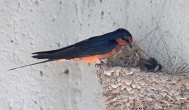 Barn swallows 07