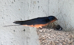 Barn swallows 08