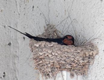 Barn swallows 10