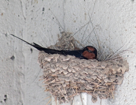 Barn swallows 10