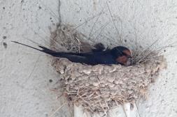 Barn swallows 11