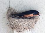 Barn swallows 12