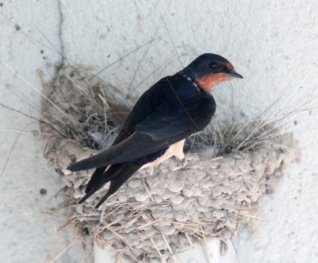 Barn swallows 14