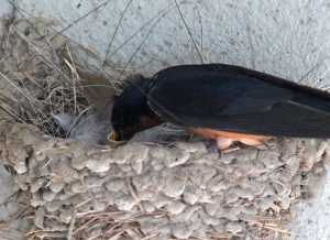 Barn swallows 16