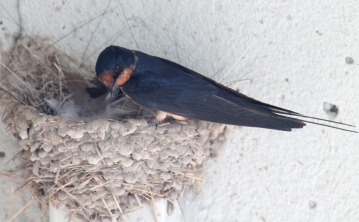 Barn swallows 17