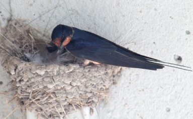 Barn swallows 17
