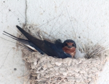 Barn swallows 19