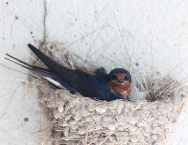 Barn swallows 19