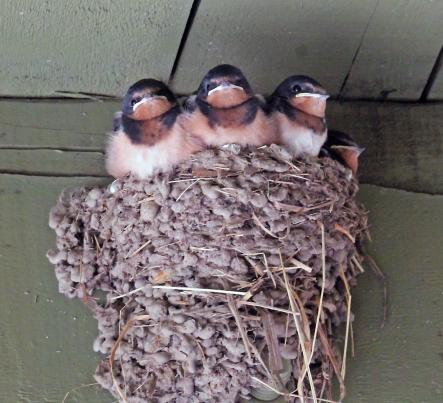 Barn swallows 2