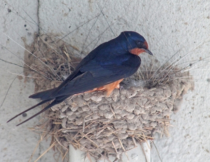 Barn swallows 21