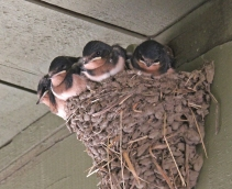 Barn swallows 5