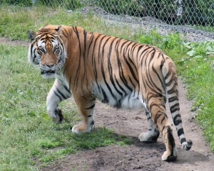 Amur tiger 03