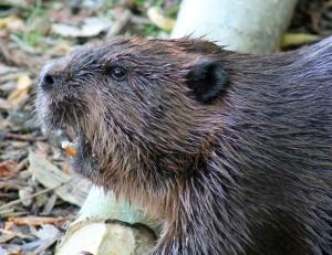 Beaver 03 calendar