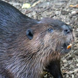 Beaver 07