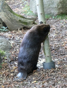 Beaver 09
