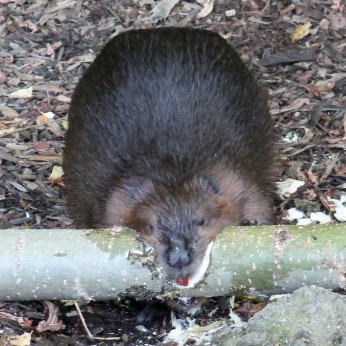 Beaver 18